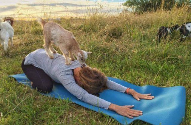 Goat Yoga Central | The Original Goat Yoga