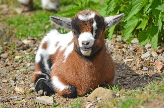 Healthy and Happy Goat